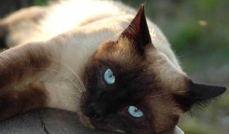 Siyam Cinsi Kedi | Siyam Kedisi Özellikleri