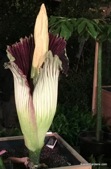 Sprout the Titan Arum