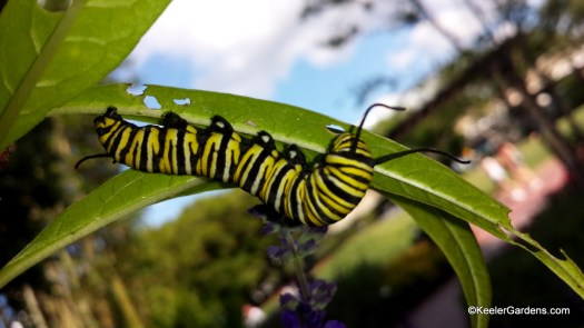A yellow, black, and white caterpillar is eating a milkweed leaf that it is holding on to the bottom of. In the background there is a blue sprig of saliva.