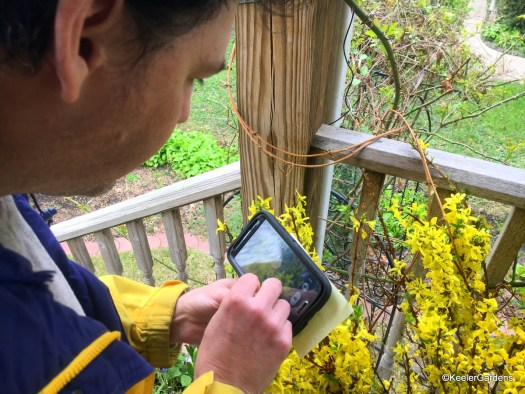 Our executive director, Ed Caplan, stands in a rain coat with smart phone in hand capturing the bright yellow forsythia on the front deck of Keeler Gardens. The cloudy rainy day creates a wonderful environmental contrast for the photo.