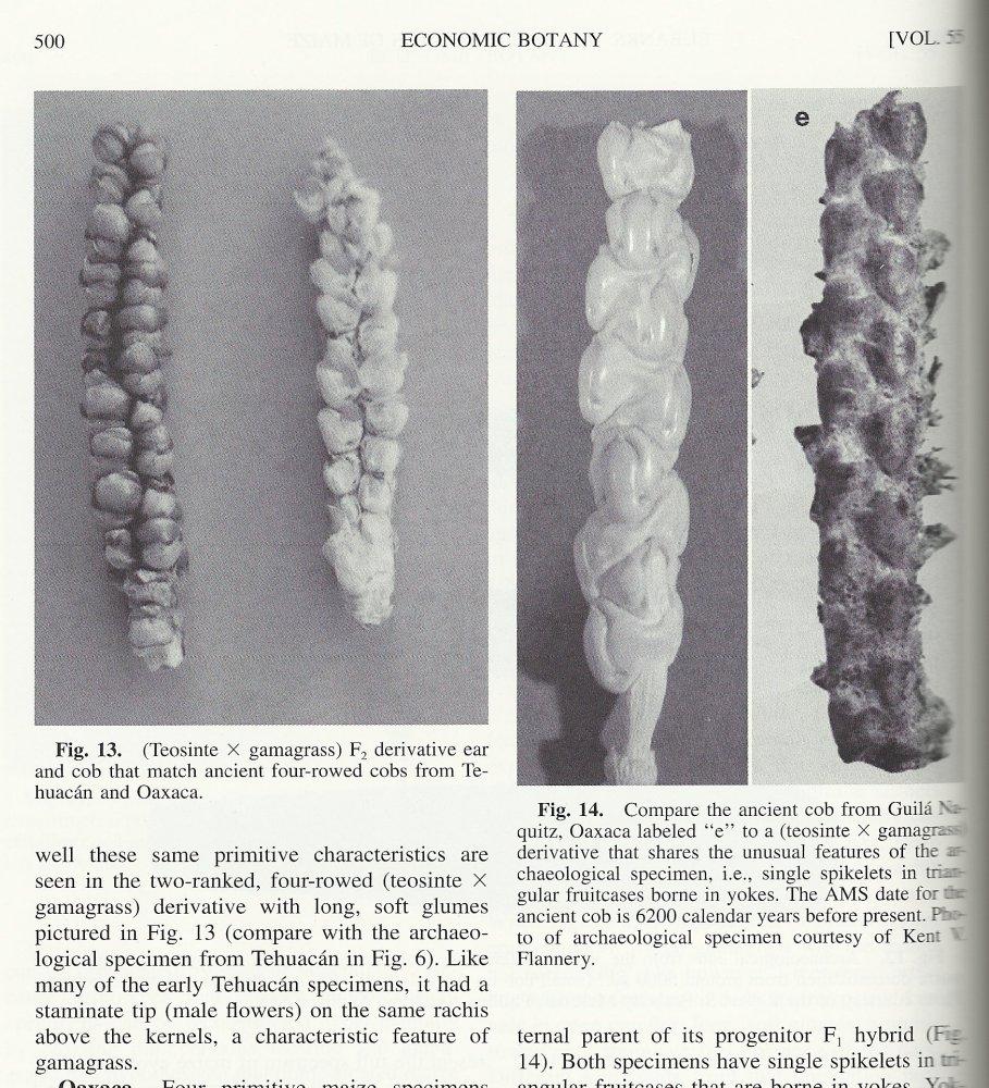 Growing Prehistoric Corn (Teosinte) (4/6)