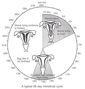 diagram of menstrual cycle from 1st day to 28th day