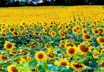 Hamilton Sunflower Ontario