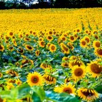 Hamilton – Sunflower Farm