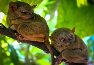 Tarsier - One of the Smallest Monkeys in the World