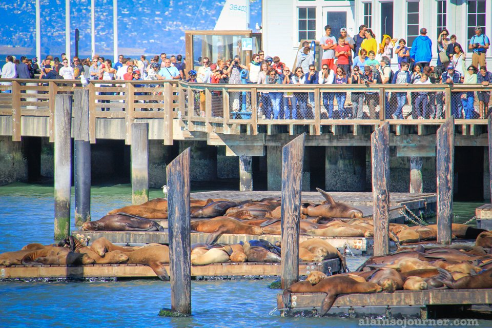 Sea lions of Fisherman's Wharf