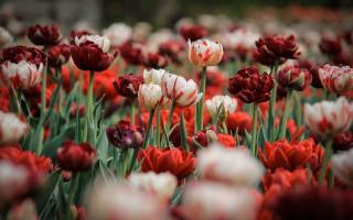 Tulip Festival in Ottawa - Gatineau is on May 8-18, 2015.