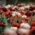 The Tulip Festival in Ottawa is a Dazzling Show of Colours