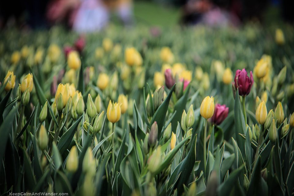 Tulip Festival in Ottawa 2015 - Commissioner's Park by Dow Lake.