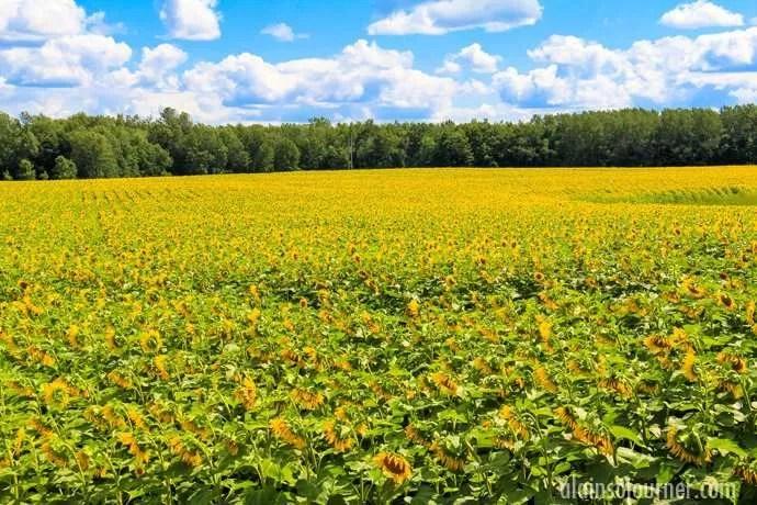 Hamilton Sunflower Farm Ontario 15