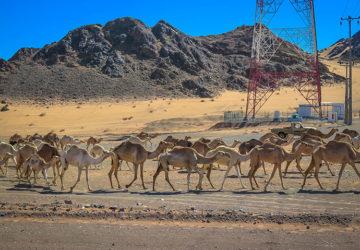 Oh Camels! (Saudi Arabia) Madian Saleh