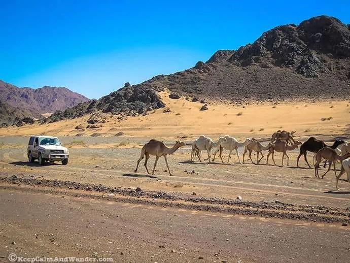 Oh Camels! (Saudi Arabia)