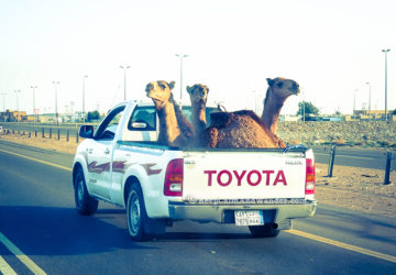 This is how to transport camels in Saudi Arabia.