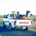 How To Transport Camels in Saudi Arabia