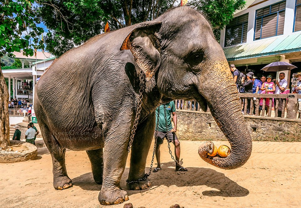 The State of the Elephants at Pinnawala Elephant Orphanage (Sri Lanka).