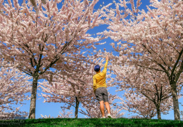 Cheery Blossoms at Garry Point Park Richmond Vancouver