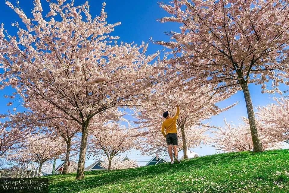 Vancouver Cherry Blossoms Richmond