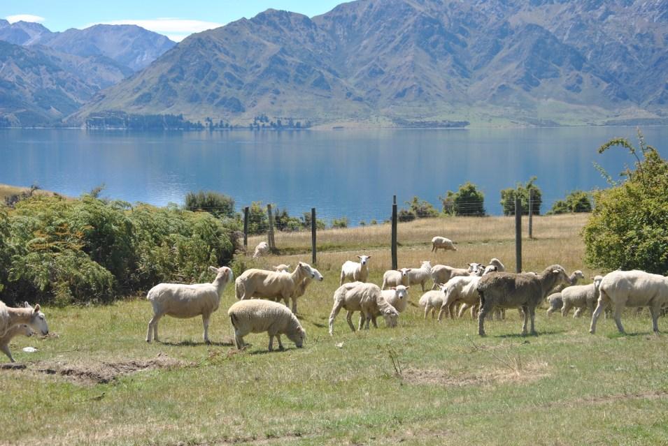 Encore du Sheep - Nouvelle Zélande