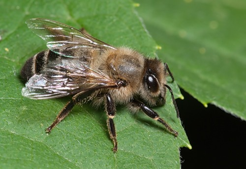 different types of bees
