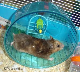 syrian hamster care and
