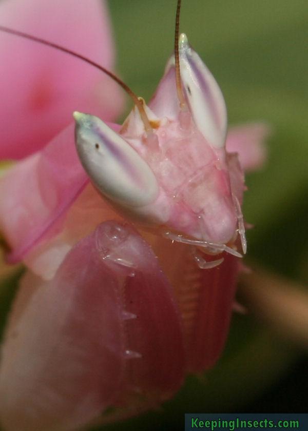 Orchid Mantis Lifespan : orchid, mantis, lifespan, Orchid, Mantis, Hymenopus, Coronatus, Keeping, Insects