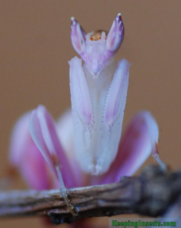 Where Can I Buy An Orchid Mantis : where, orchid, mantis, Orchid, Mantis, Hymenopus, Coronatus, Keeping, Insects