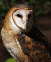 Willow, a barn owl living at the Carolina Raptor Center. Photo: Carolina Raptor Center, Elizabeth Hyde