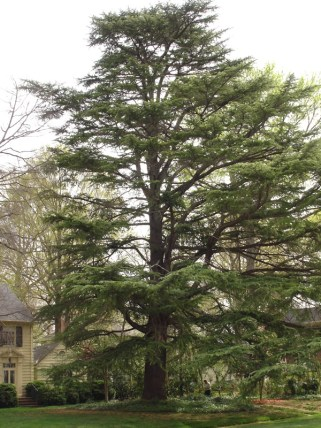 The top-ranking Mecklenburg tree on the N.C. Forest Service Champion Trees list is this deodar cedar. Photo courtesy N.C. Forest Service