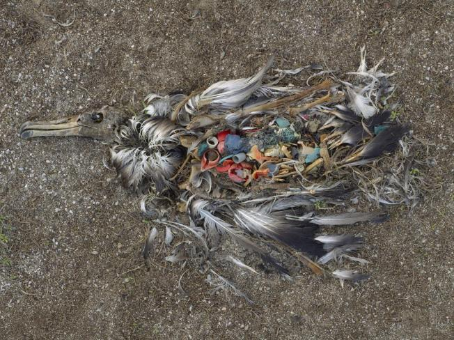 The bird is a photo by Chris Jordan, from his Midway series, which has images of the stomach contents of dead baby albatrosses, whose parents mistakenly feed them bits of plastic, which kills them.