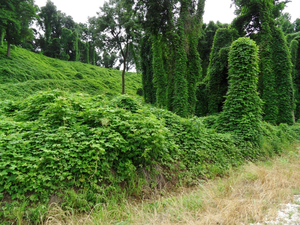 Kudzu shrouds trees and the landscape in this photo. Photo by Ken Ratcliff