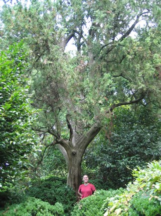 The champion Alaska cedar at Historic Rosedale Plantation. Photo courtesy N.C. Forest Service