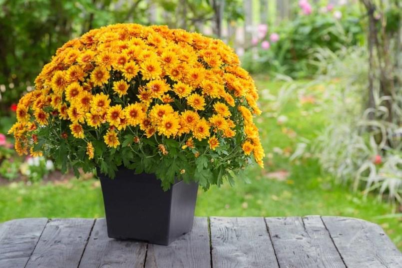 Garden Mum