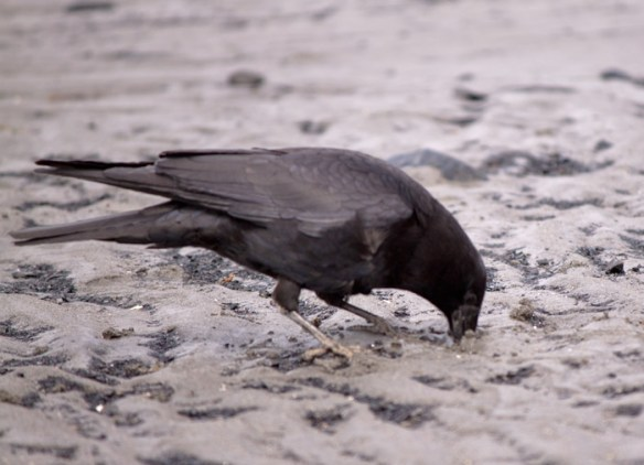 This crow searches the sand for a meal.