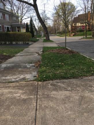 Cute bunny near home (4/13/17)