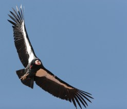 californiacondor