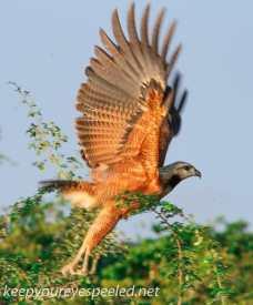 Black Collared hawk 3 (4 of 10)