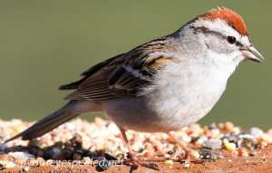 Chipping Sparrow 15 (1 of 1)