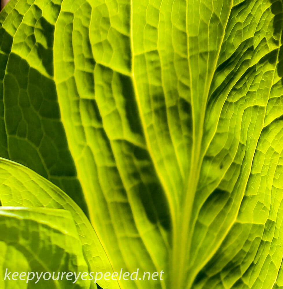 skunk cabbage (1 of 1)