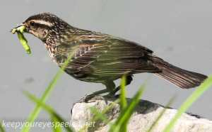PPL Wetlands female red winged blackbird 4 (1 of 1)