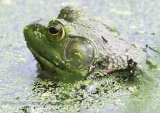 PPL wetlands frog (1 of 1)