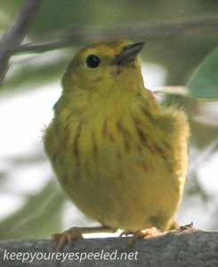 PPL Riverland June 10 2015 yellow warbler 102 (1 of 1)