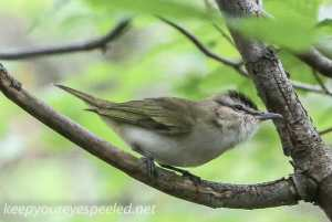 Upper lehigh flycatcher- (1 of 1)
