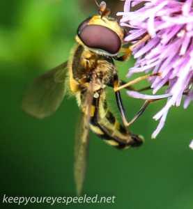 macro thistle  bug wasp 84 (1 of 1)