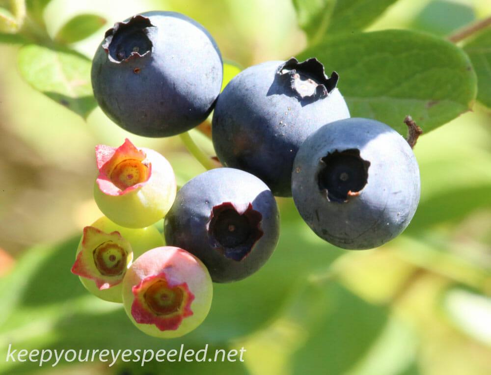 macro blueberries 142 (1 of 1)