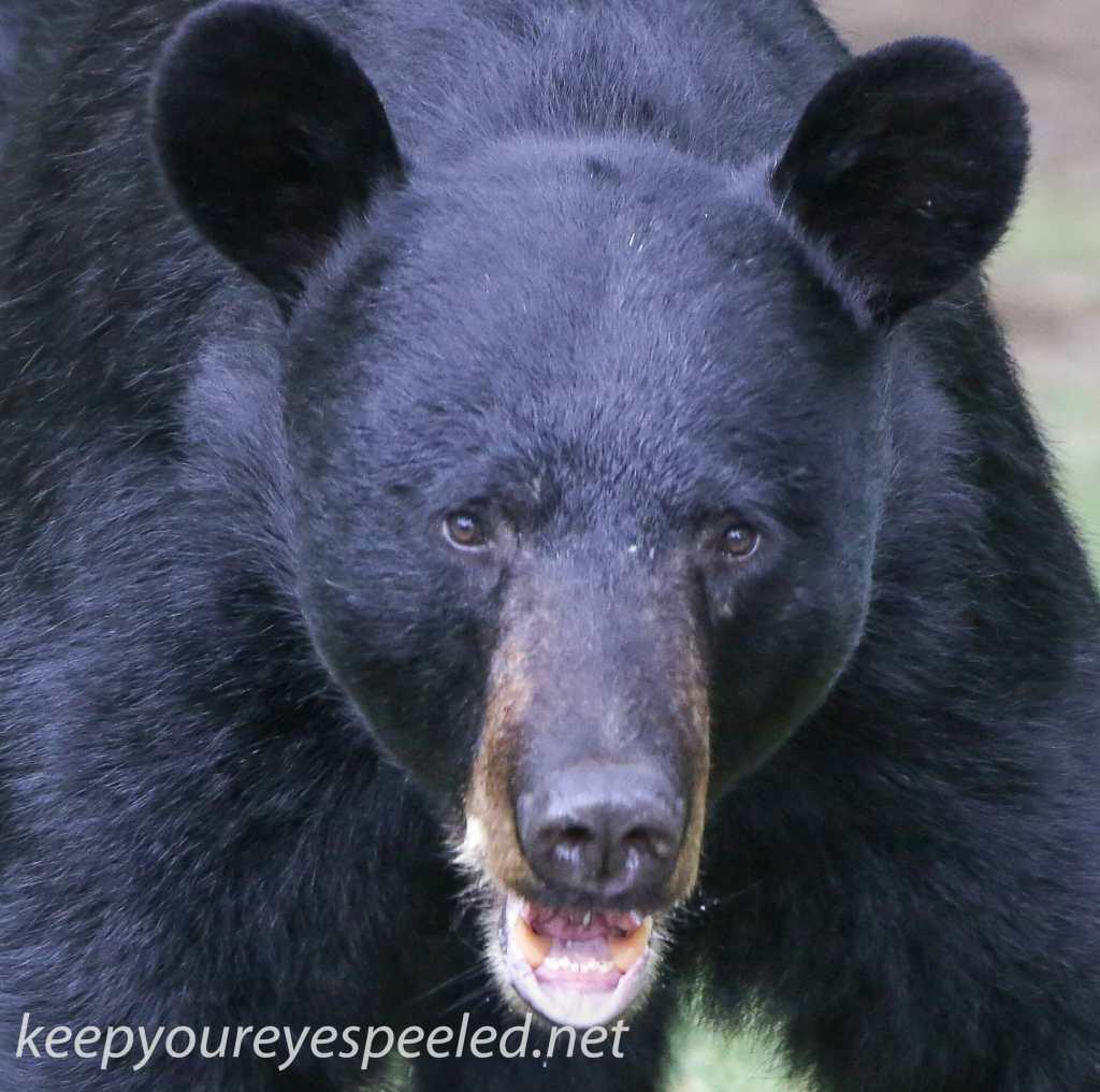Bear 17 (1 of 1)
