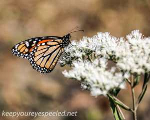 Railroad track hike  butterfly 3 (1 of 1)
