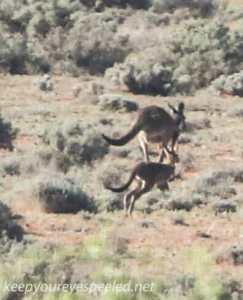Kangaroo 4-1