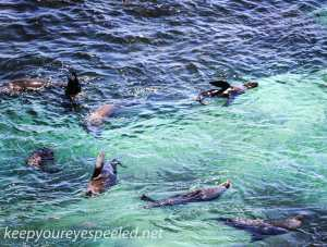 Rottnest Island seals-1
