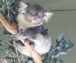 Bonorong koala-8