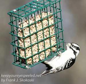 back yard birds-6